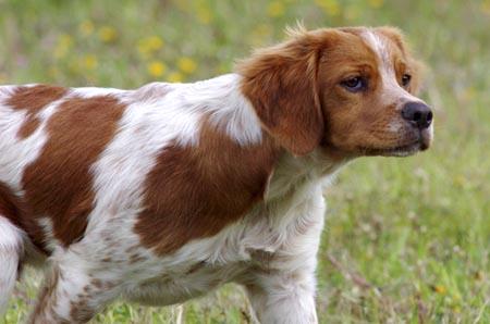 Spaniel breton pelo corto