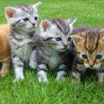 Las 10 razas de gatos más cariñosos