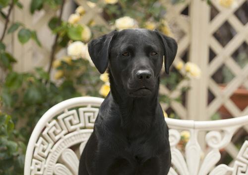 Las maravillas del perro labrador retriever