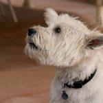 Los perros notan el tono de voz lo sabías