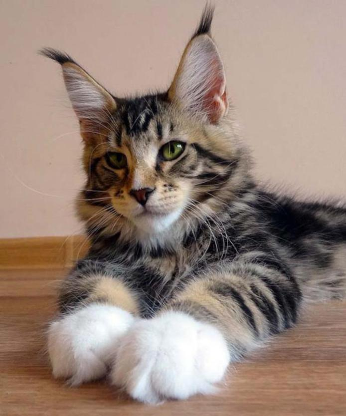 raza de gato Maine Coon
