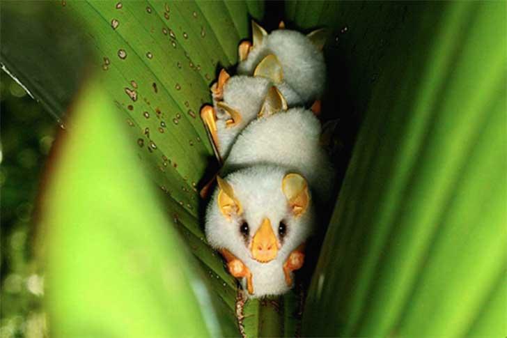 Murciélago blanco hondureño