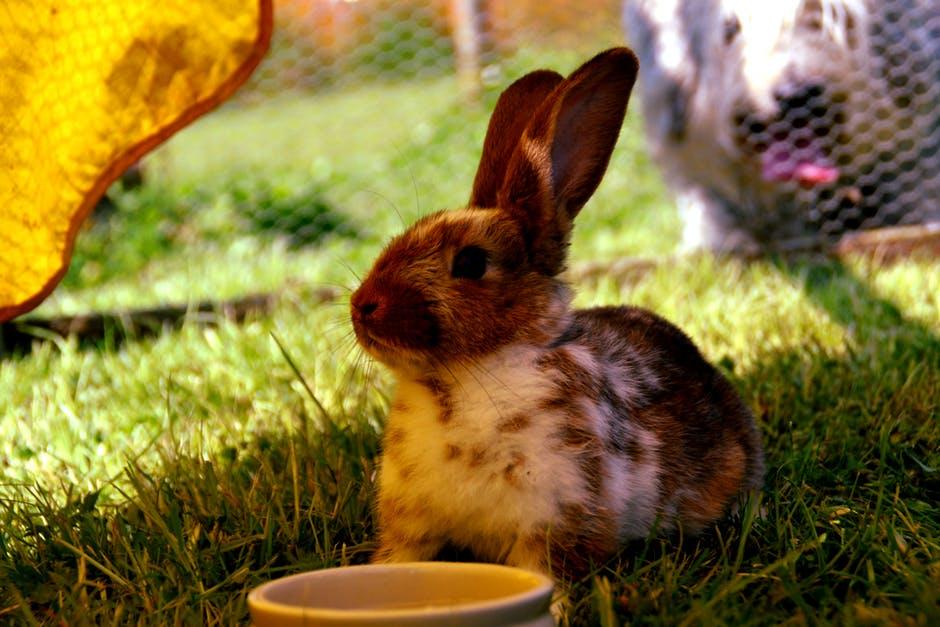 Pérdida de pelo en conejos por deficiencia nutricional