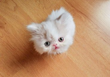 Poco conocido, pero precioso: te presentamos al gato napoleón