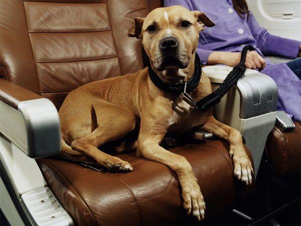 Requisitos que debe cumplir mi mascota para volar en avión