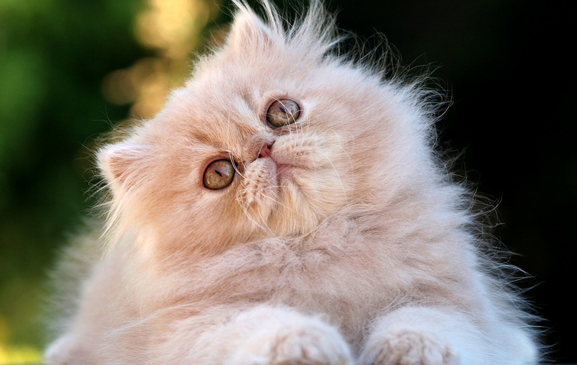 Raza de gato persa te lo contamos todo