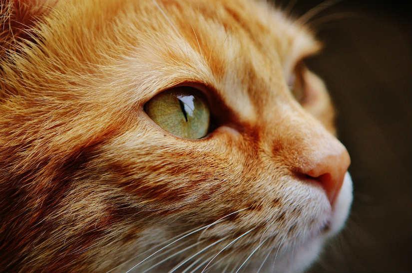 Remedios caseros para la conjuntivitis en gatos