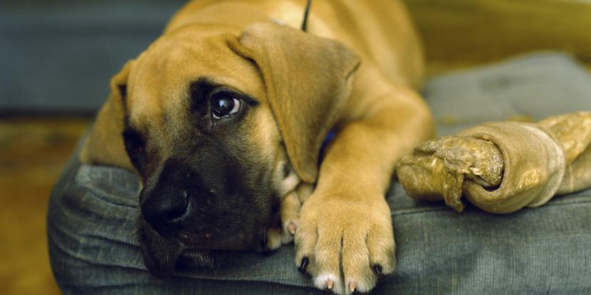 Síntomas de parásitos en perros: parásitos internos