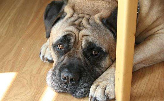 Síntomas del estrés en perros