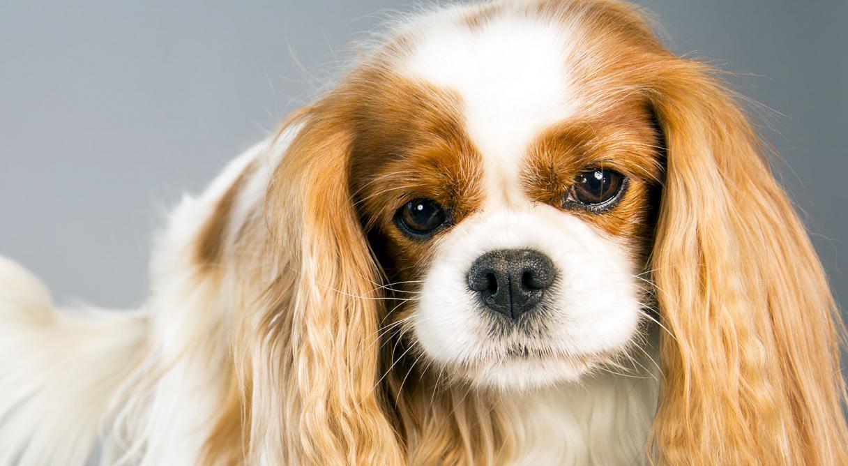 Te presentamos la raza de perro Cavalier King Charles Spaniel