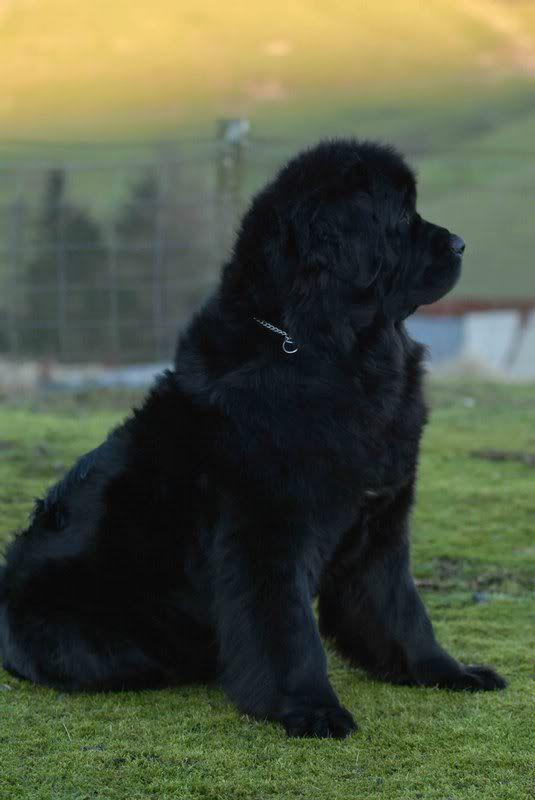 las razas de perro más grandes del mundo el Terranova