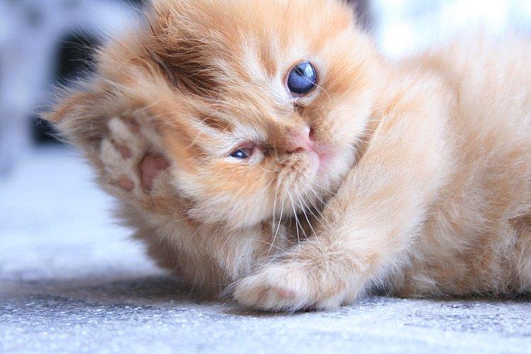 Tipos de conjuntivitis en gatos