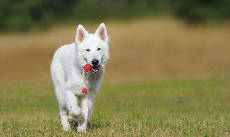 amiloidosis canina