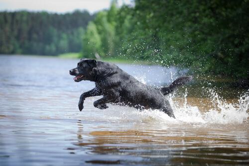 Un labrador rescató a dos perros de una canoa