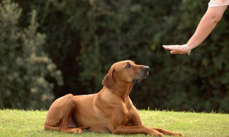 Un perro anciano puede seguir aprendiendo trucos
