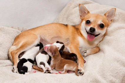 Alimentación de las perras durante la lactancia