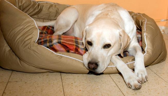 Alimentación de las perras gestantes