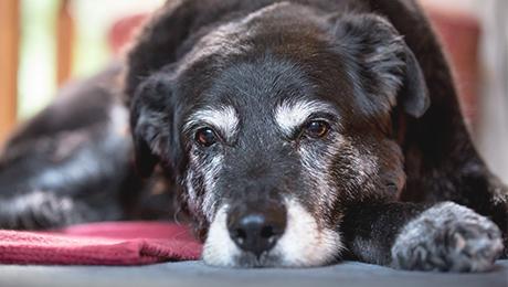 Alimentación de los perros senior o ancianos