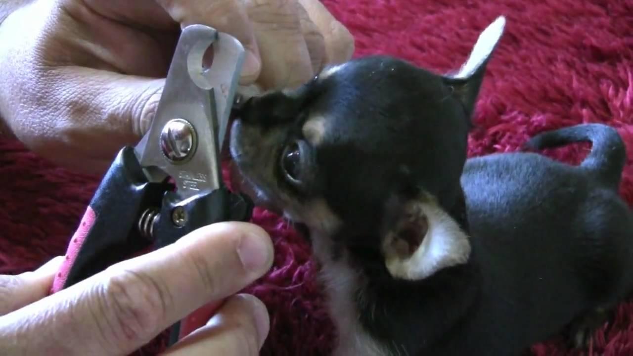 aprender cómo cortarle las uñas a un cachorro