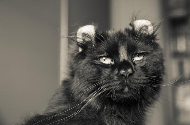 Características físicas del gato American curl