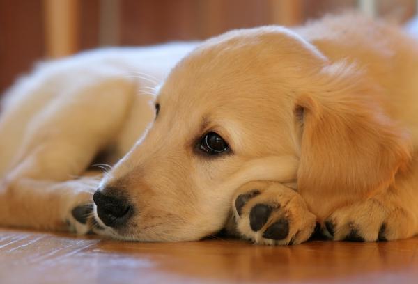 champú en seco para perros