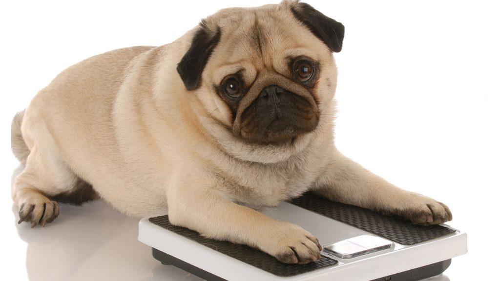 Cómo saber el peso ideal de mi perro