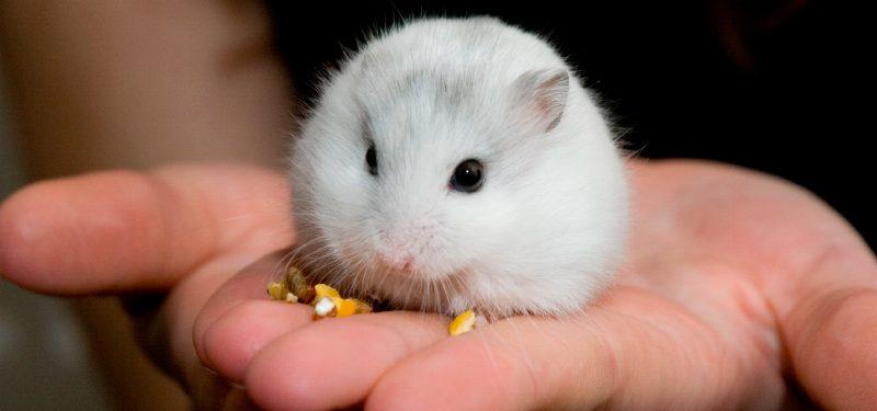 consejos clave para cuidar a un hamster ruso
