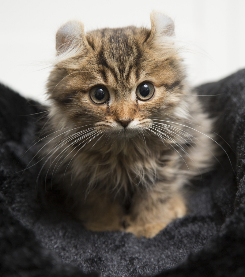 Cuidados de la raza de gato American curl