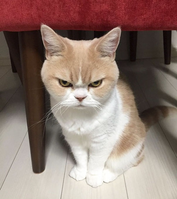 gato japones enfadado