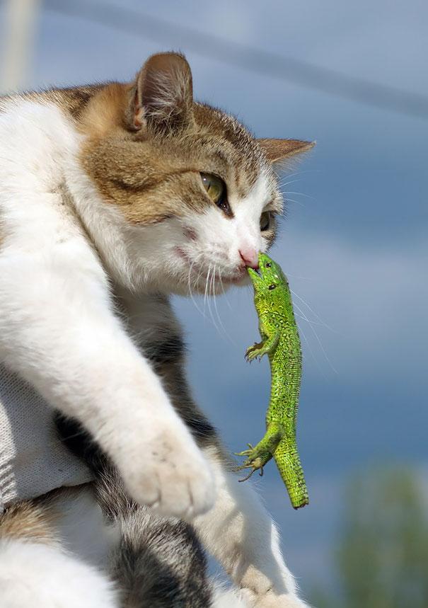 gato contra lagarto