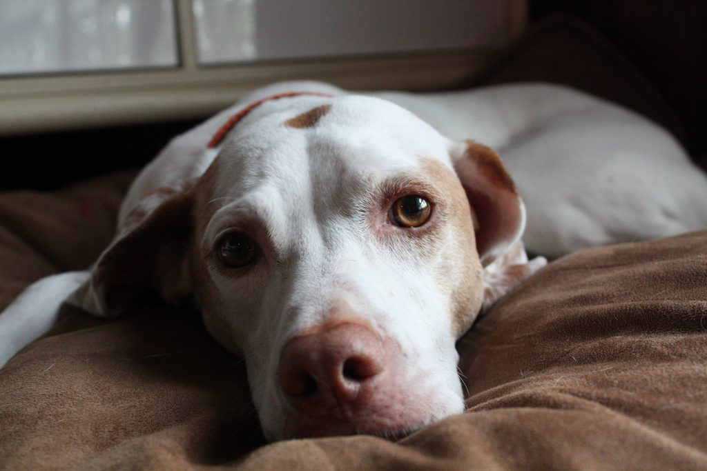 hiperapego canino
