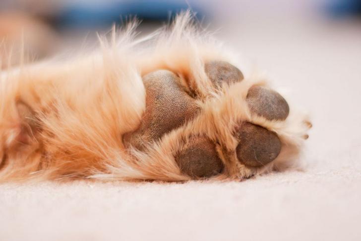 los perros sudan a través de las almohadillas
