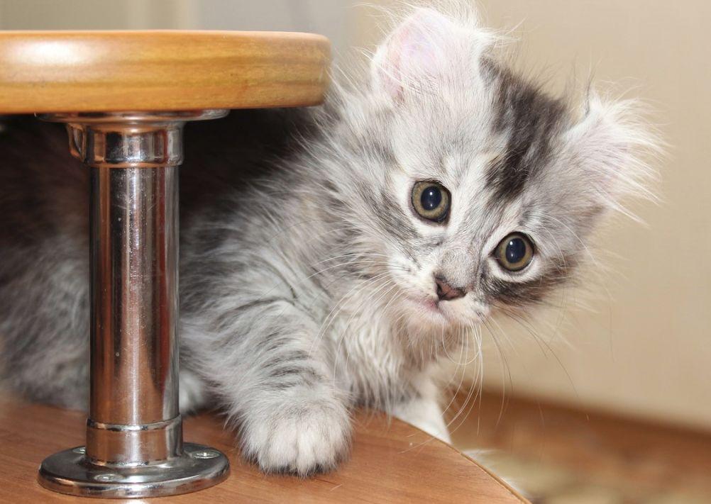 Origen del gato American curl