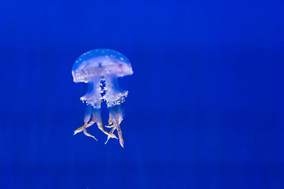 medusas de mar