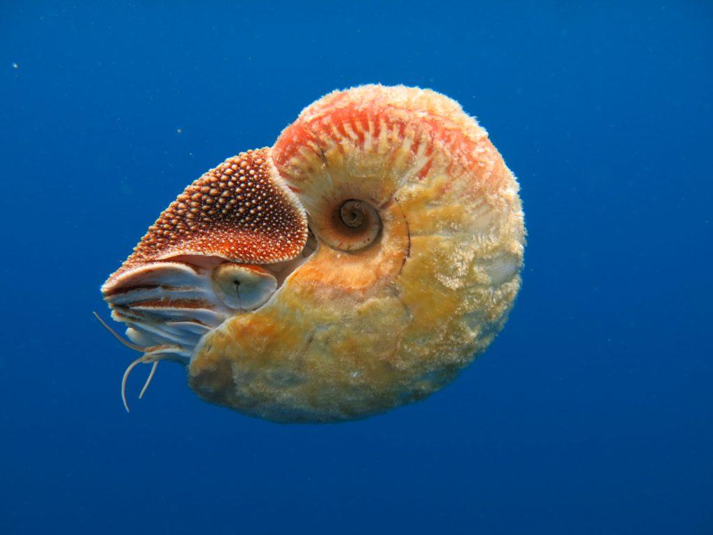 animales muy antiguos nautilus