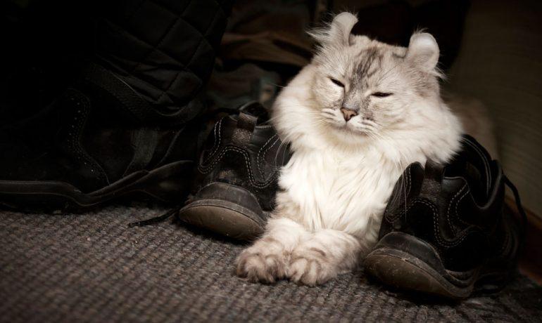 raza de gato American Curl