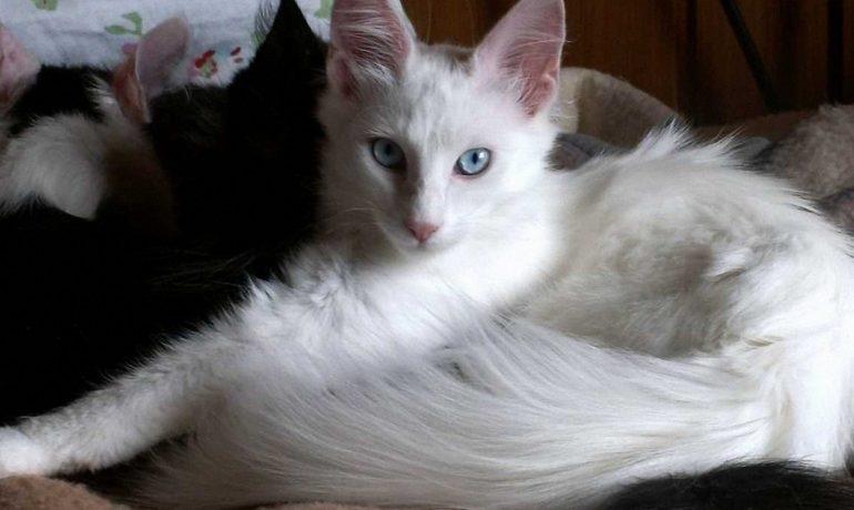 Conoces al gato de Angora Te lo contamos todo sobre esta raza
