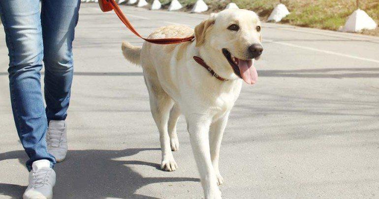razas caninas más deportistas Labrador Retriever