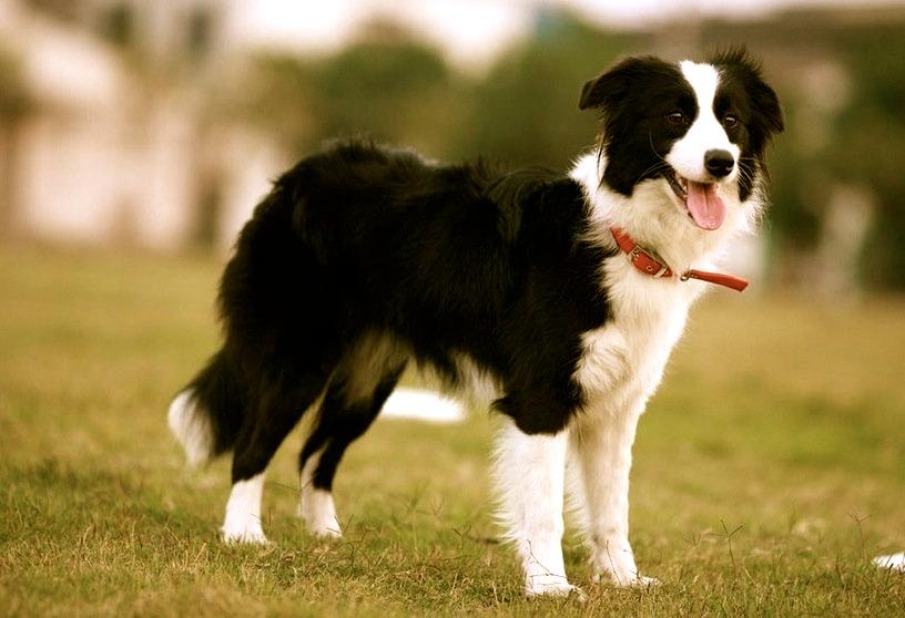 razas caninas más deportistas border collie