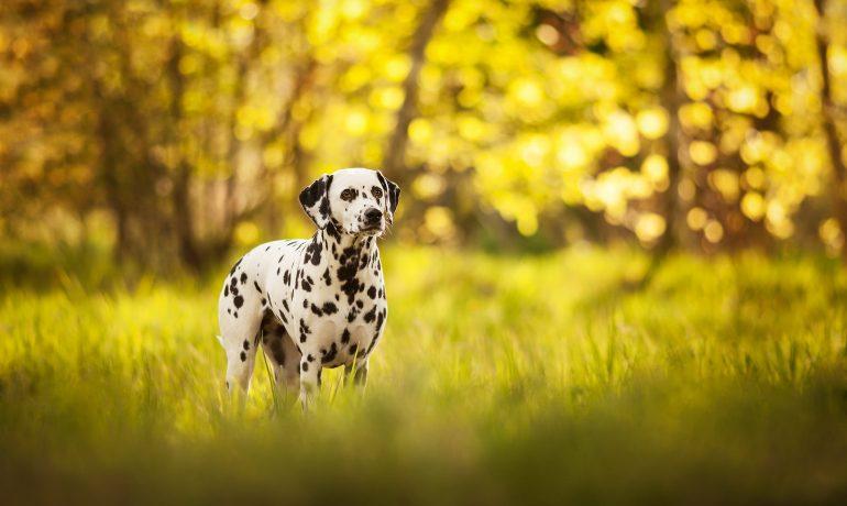 razas caninas más deportistas dalmata