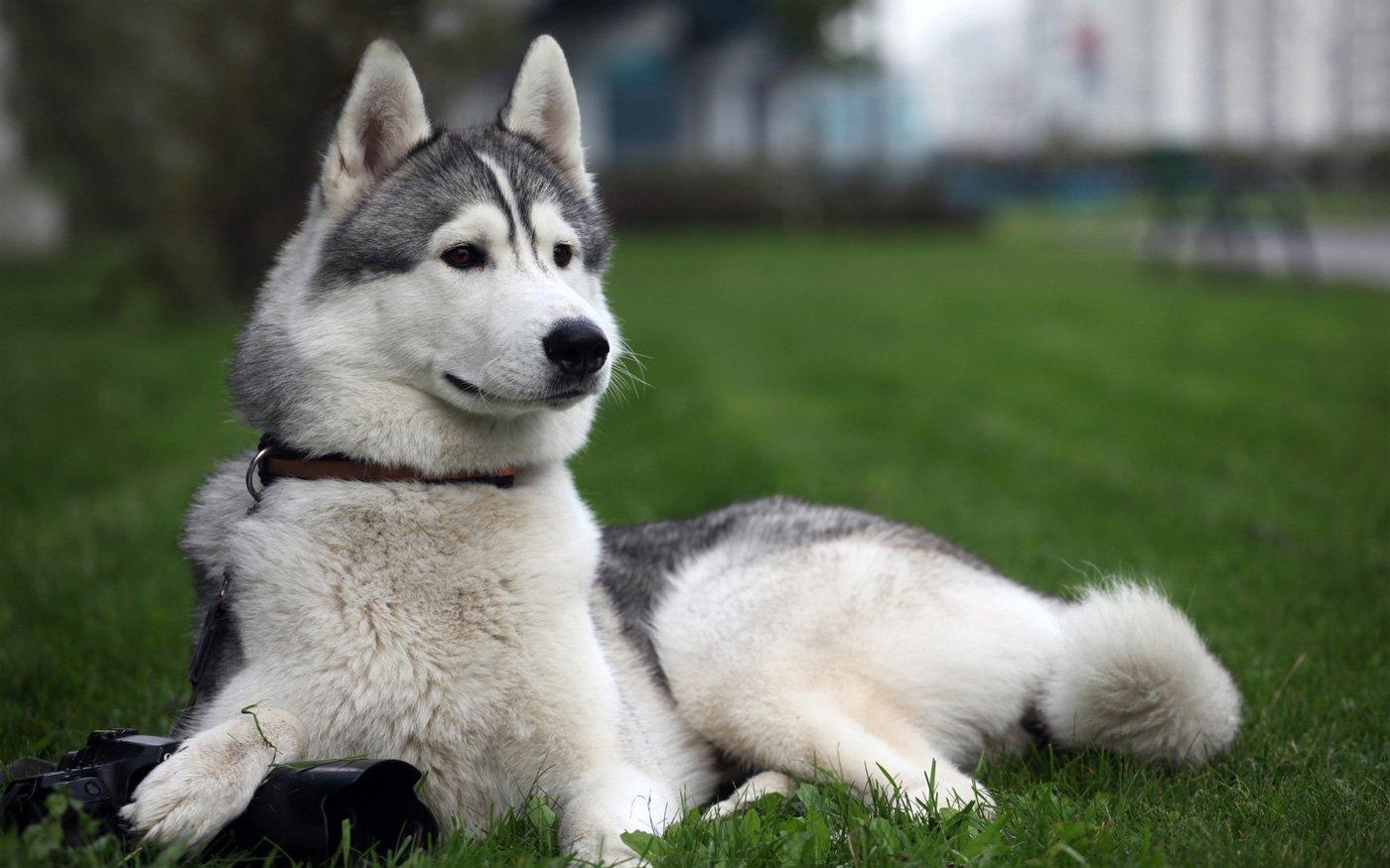 razas caninas más deportistas husky siberiano