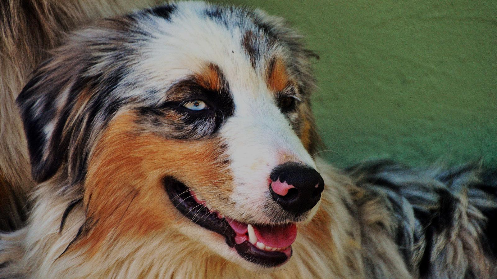 razas caninas más deportistas pastor australiano