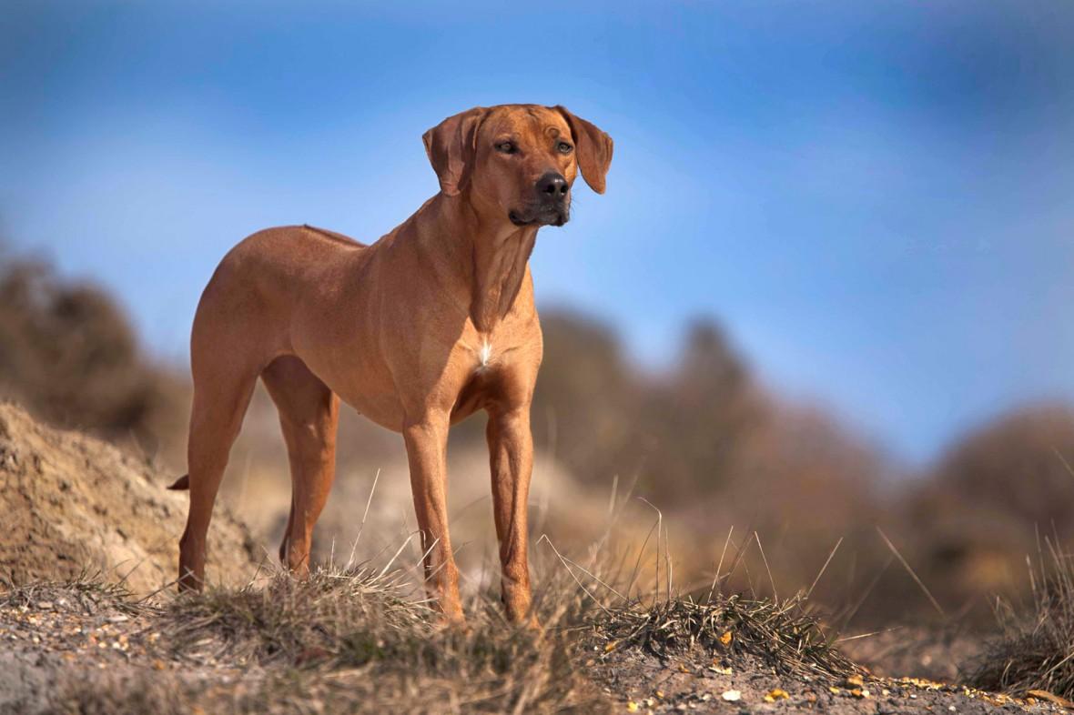 razas caninas más deportistas ridgeback