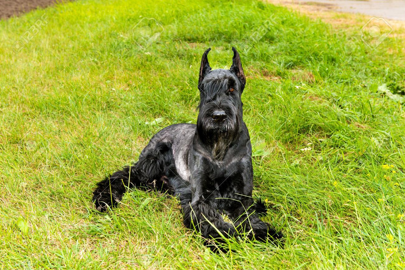razas caninas más deportistas schnauzer gigante