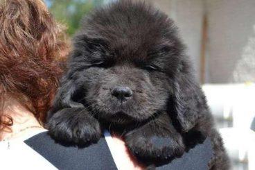 razas de perro más grandes del mundo