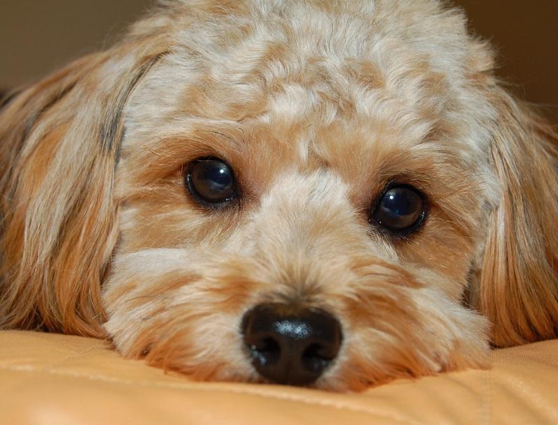 Razas de perros más propensas a sufrir conjuntivitis