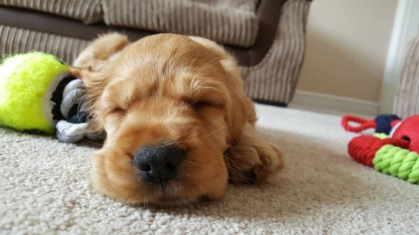 Receta del champú en seco para perros
