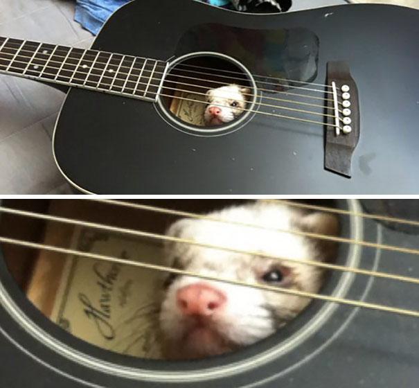 hurón dentro de guitarra