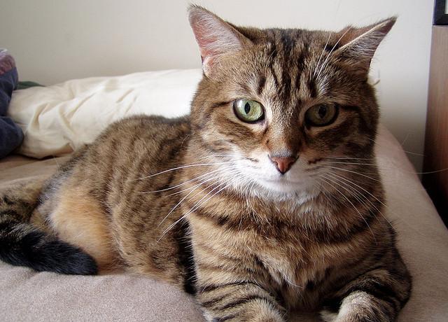 Tratamiento de la tiña en gatos