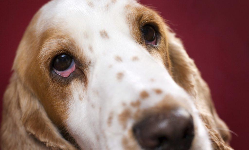 Úlcera ocular en los perros